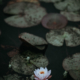 lily pads on water